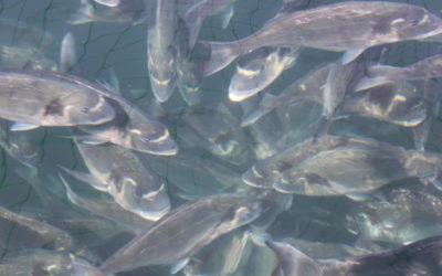 Linee guida sul benessere dei pesci allevati